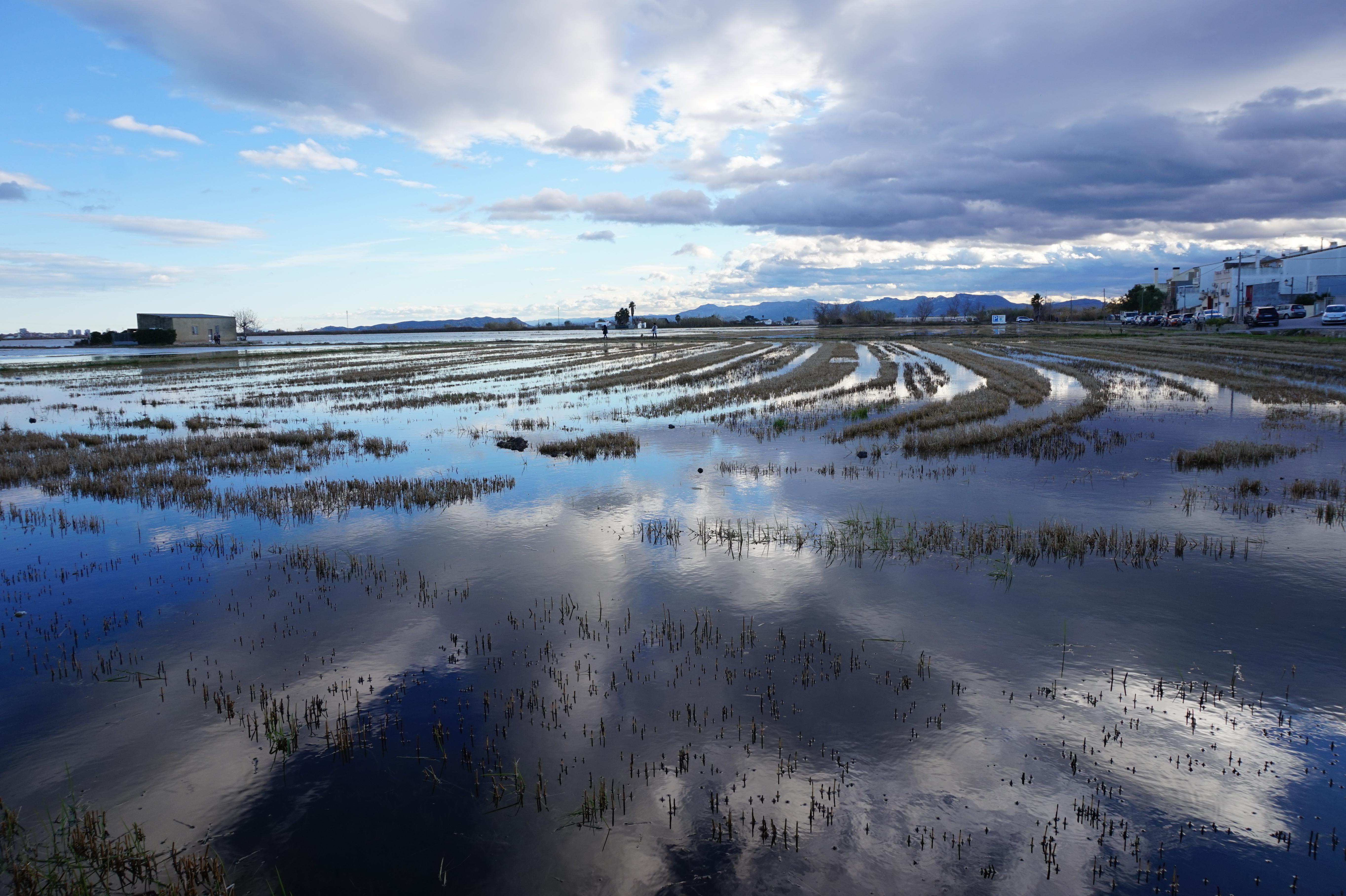 Un campo de arroz en la Albufera